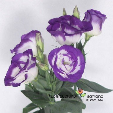 Lisianthus flor natural lilas