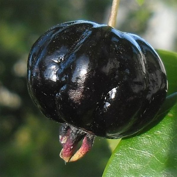 3182 - Essência Pitanga Negra 100ml