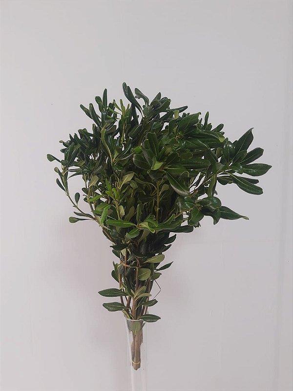 Pitosro Verde