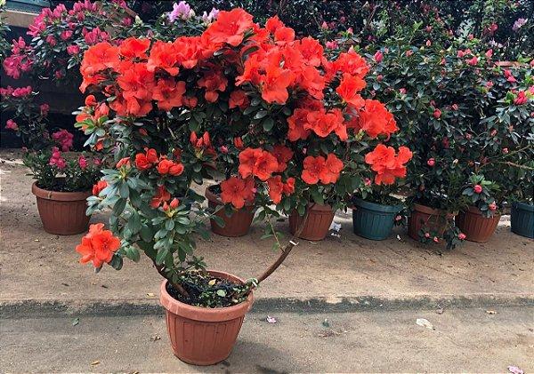 Azalélia variada - Círculo