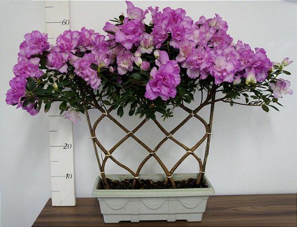 Azaléia variada - Jardineira