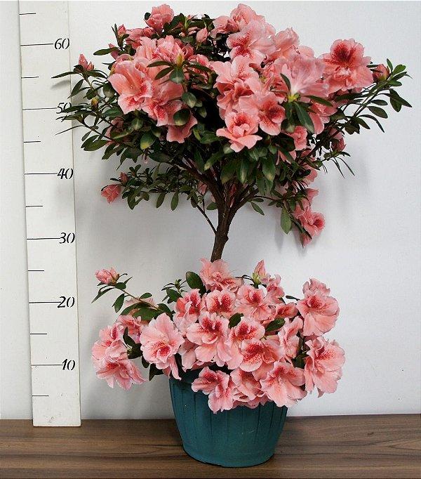 Azaléia variada - Bonsay Pote 18 duplo