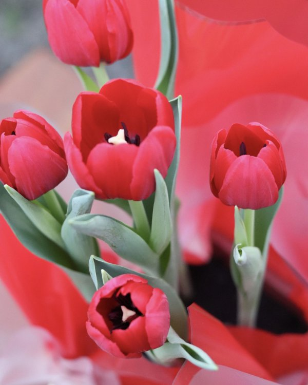 Tulipa Vermelha Premium