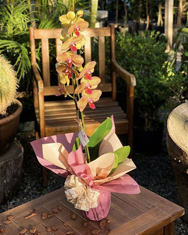 Orquídea Phaleanopsis  Matizada
