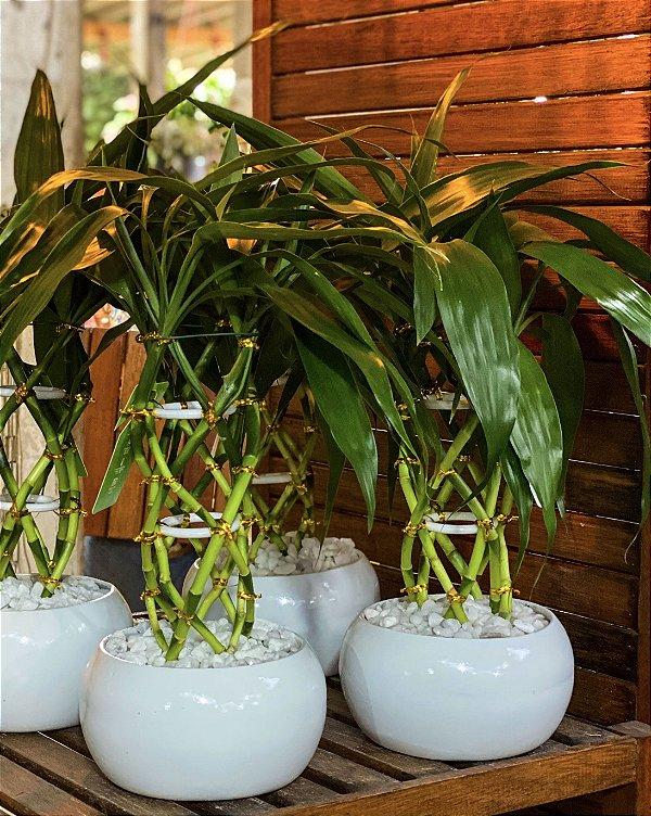 Bambu da Sorte Luxo