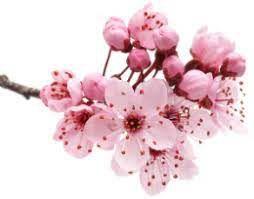 EBS/1914 Essência Flor de Cerejeira