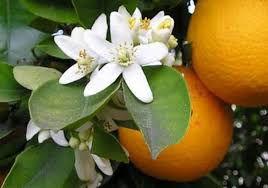 LOJ/0213 Essência Bergamota c/ Flor de Laranjeira