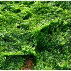 Ext. Glicolico de Algas