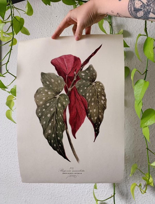 Begônia Maculata - Jardim Secreto + Nestor Jr
