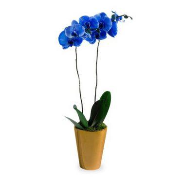 Orquídea Phaleanopsis Azul | Entrega Grátis | Dizeres Grátis
