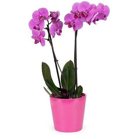 Orquídea Phaleanopsis Pink