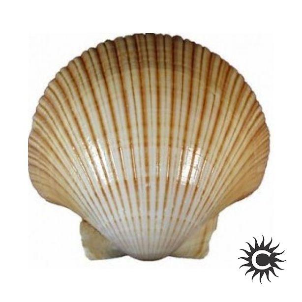 Concha Shell - Unidade