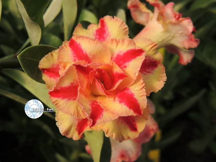 "Kit 5 Sementes de ""Mr. KO 56"" Rosa do Deserto - Adenium Obesum"