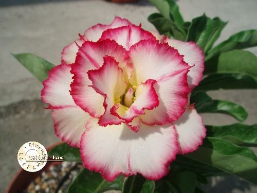 "Kit 5 Sementes de ""Mr. KO 16"" Rosa do Deserto - Adenium Obesum"