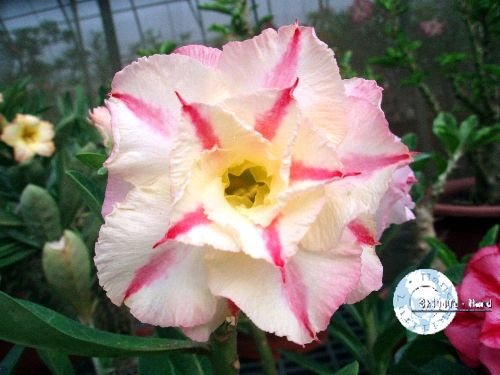 "Kit 5 Sementes de "" Mr. KO 02 "" Rosa do Deserto - Adenium Obesum"
