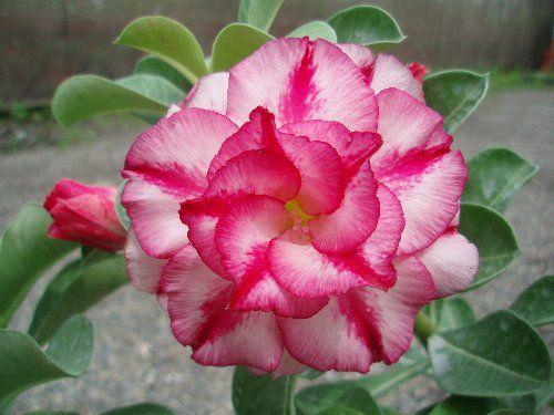 "Kit 5 Sementes de "" Mr. KO DOUBLE MOONS "" Rosa do Deserto - Adenium Obesum"