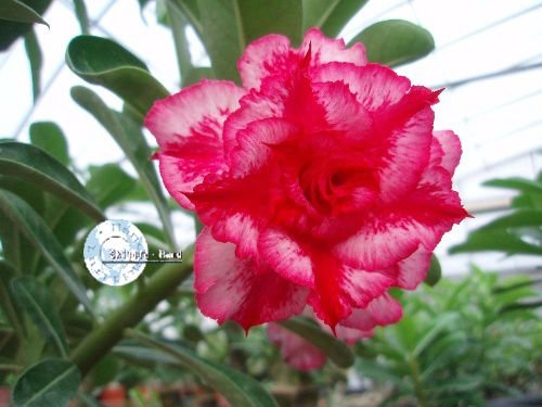 "Kit 5 Sementes de "" Mr. KO 04 "" Rosa do Deserto - Adenium Obesum"