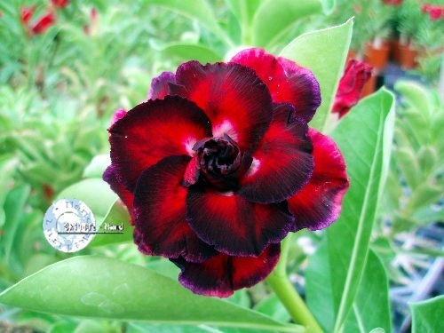 "Kit 5 Sementes de "" Mr. KO 34 "" Rosa do Deserto - Adenium Obesum"