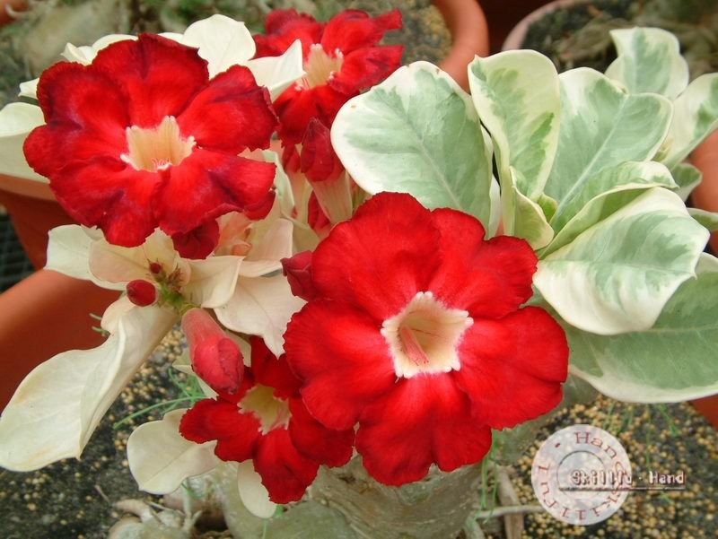 "Kit 5 Sementes de "" Mr. KO STAR OF TOP "" Rosa do Deserto - Adenium Obesum"