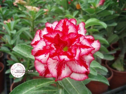 "Kit 5 Sementes de "" Mr. KO 07 "" Rosa do Deserto - Adenium Obesum"