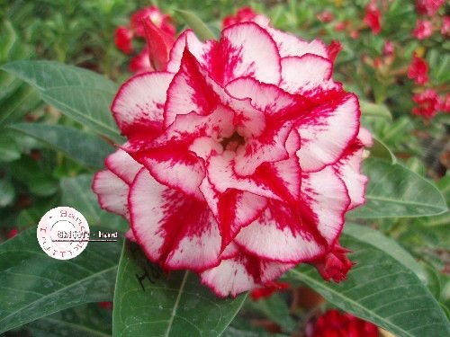 "Kit 5 Sementes de "" Mr. KO 24 "" Rosa do Deserto - Adenium Obesum"