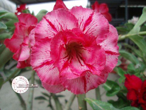 "Kit 5 Sementes de "" Mr. KO 32 "" Rosa do Deserto - Adenium Obesum"