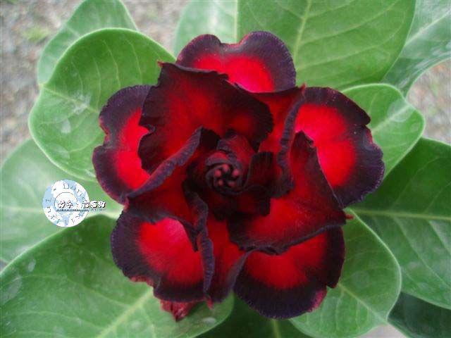 "Kit 5 Sementes de "" Mr. KO 46 "" Rosa do Deserto - Adenium Obesum"