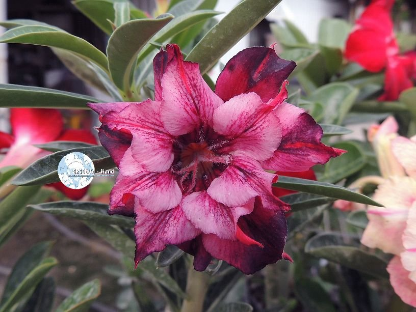 "Kit 5 Sementes de ""Mr. KO 54"" Rosa do Deserto - Adenium Obesum"