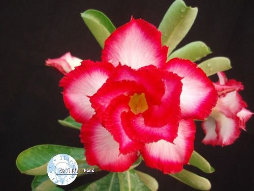 "Kit 5 Sementes de "" Mr. KO TOUCHING HEART "" Rosa do Deserto - Adenium Obesum"