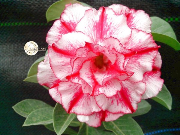 "Kit 5 Sementes de ""Mr. KO 66 "" Rosa do Deserto - Adenium Obesum"