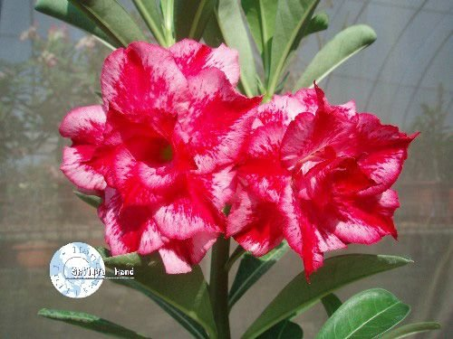 "Kit 5 Sementes de ""Mr. KO EXCELLENT LOVER "" Rosa do Deserto - Adenium Obesum"