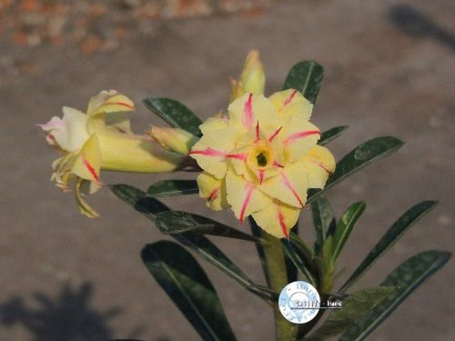 "Kit 5 Sementes de ""Mr. KO 50 "" Rosa do Deserto - Adenium Obesum"