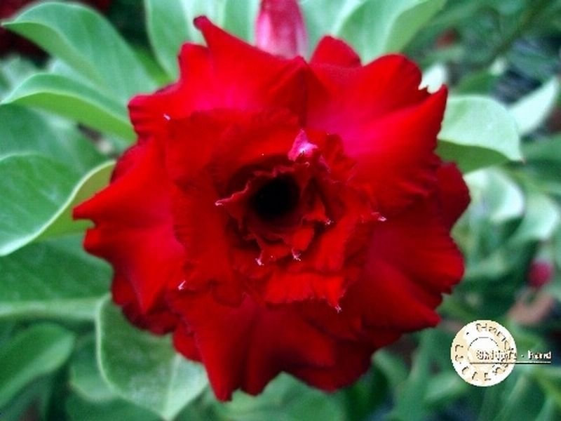 "Kit 5 Sementes de ""Mr. KO 20"" Rosa do Deserto - Adenium Obesum"