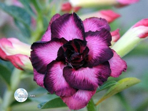 "Kit 5 Sementes de "" Mr. KO 49 "" Rosa do Deserto - Adenium Obesum"
