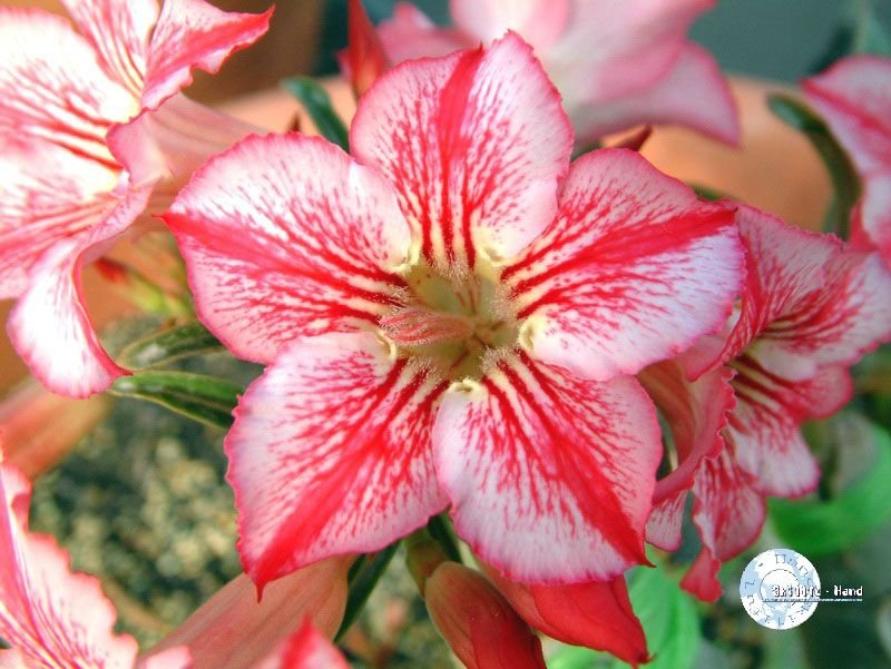 "Kit 5 Sementes de ""Mr. STAR OF HOPE "" Rosa do Deserto - Adenium Obesum"
