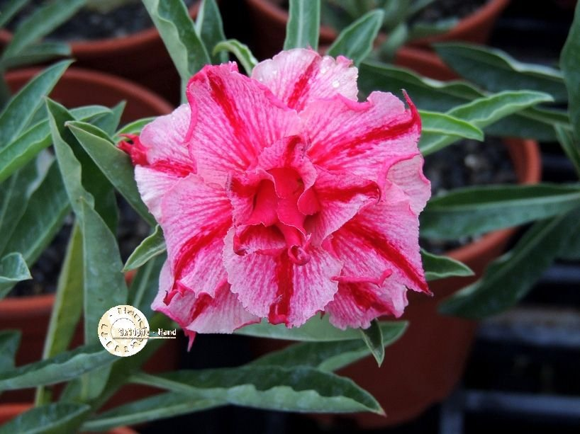 "Kit 5 Sementes de ""Mr. KO 62 "" Rosa do Deserto - Adenium Obesum"