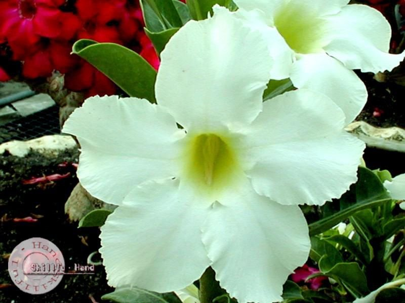 "Kit 5 Sementes de ""Mr. ASIAN STAR "" Rosa do Deserto - Adenium Obesum"