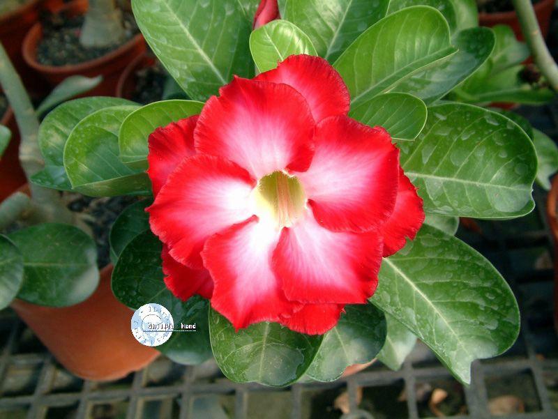 """Kit 5 Sementes de """"Mr. FRAGRANT CLOUD """" Rosa do Deserto - Adenium Obesum"""
