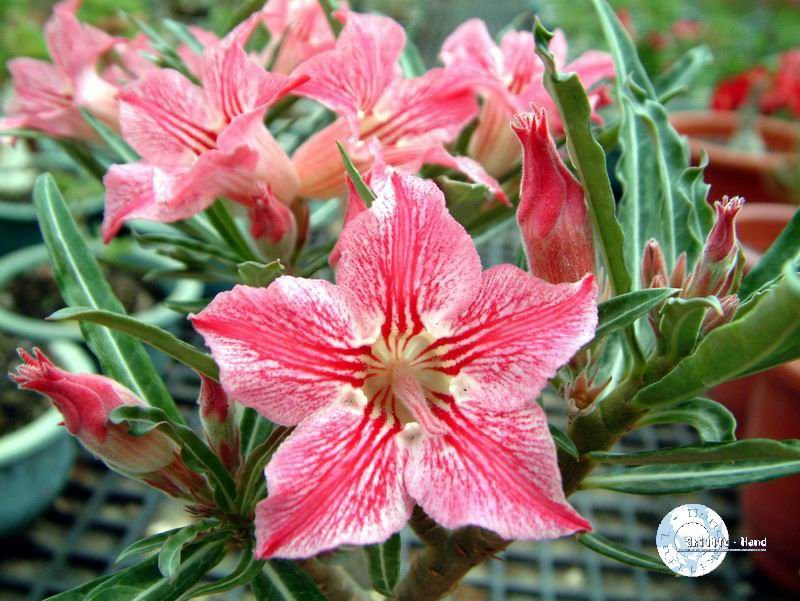 "Kit 5 Sementes de ""Mr. KO DANCE OF BUTTERFLY "" Rosa do Deserto - Adenium Obesum"