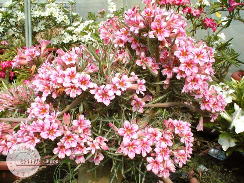 "Kit 5 Sementes de ""BOSOM JADE "" Rosa do Deserto - Adenium Obesum"
