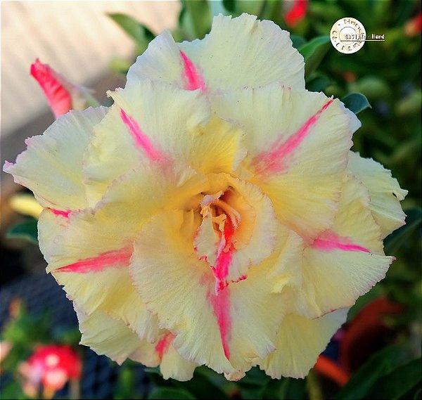"Kit 5 Sementes de ""KO 117 "" Rosa do Deserto - Adenium Obesum"