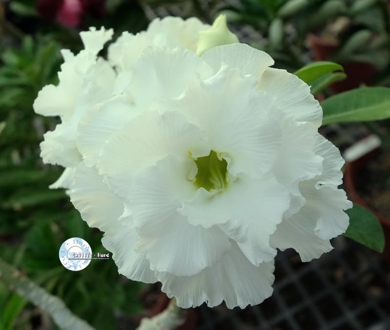 "Kit 5 Sementes de ""KO 88 "" Rosa do Deserto - Adenium Obesum"