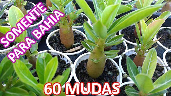 KIT com 60 Mudas de Rosa do Deserto 3 a 5 meses - Adenium Obesum