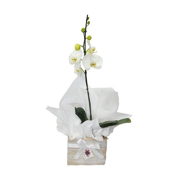 Vaso de Orquídea Phalaenopsis