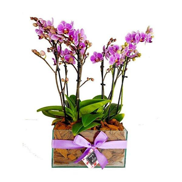 Quadra de Mini Orquídea Phalaenopsis