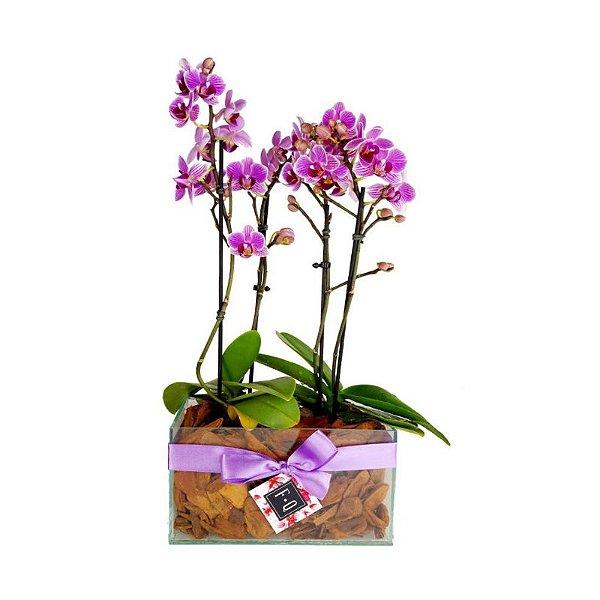 Dupla de Mini Orquídea Phale