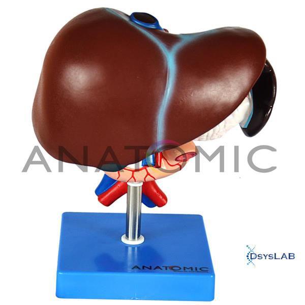 Fígado, Vesícula Biliar, Pâncreas, Duodeno e Baço, mod.: TZJ-0329-B (Anatomic)