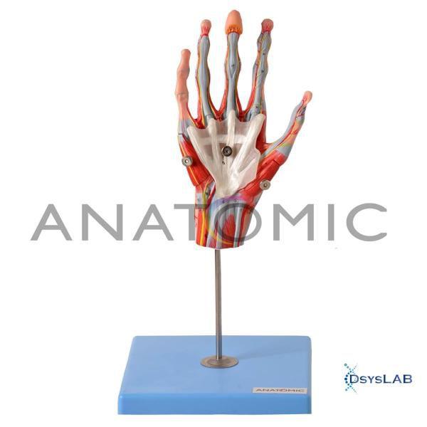 Mão Muscular com Principais Vasos e Nervos, em 5 Partes, mod.: TZJ-0330-M (Anatomic)