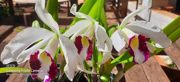 Laelia Purpurata Oculata