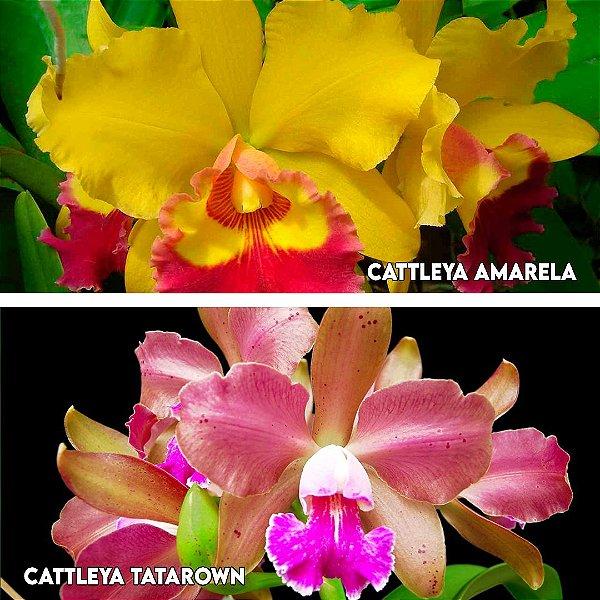 Cattleya Tatarown x Cattleya Amarela